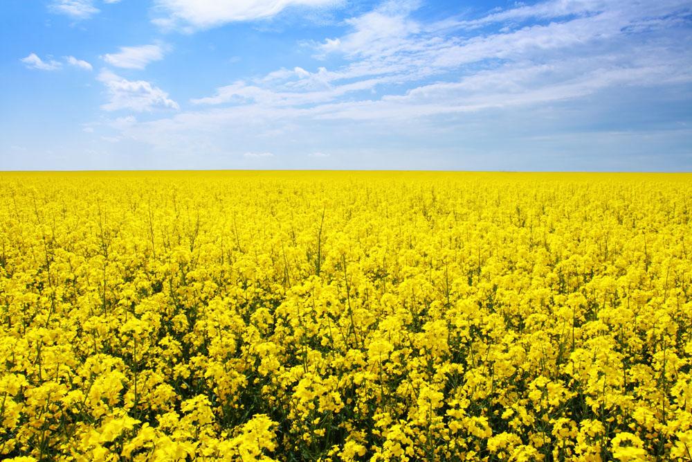 油菜田园风光摄影图片图片