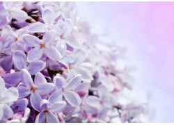 紫色小花背景
