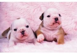 粉红色的小狗图片