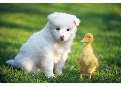 可爱的小狗与小鸭子