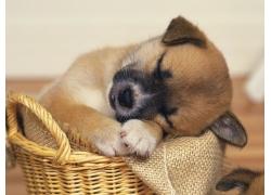 睡着的小狗