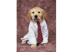 穿西服的小狗