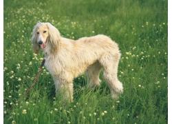 站在草地里的小狗