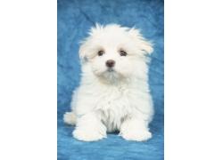 可爱的白色小狗