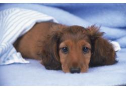 趴在毛毯上的小狗