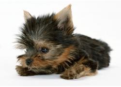 趴着的小狗摄影