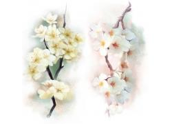 水彩梨花与水彩樱花